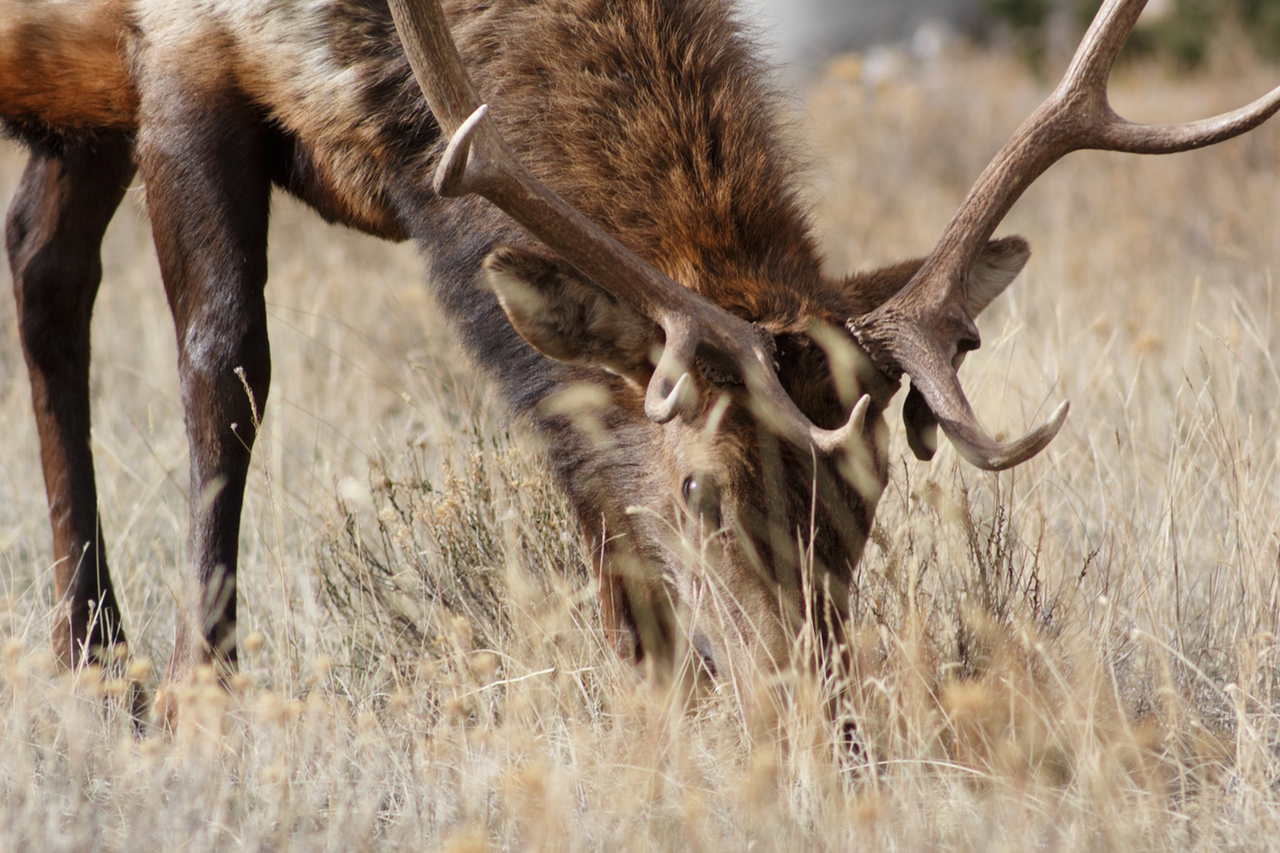 An elk... get it?